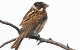 Rohrammer / Common Reed Bunting
