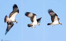 Osprey / Fischadler