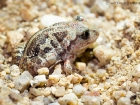 Knoblauchkröte / Common Spadefoot