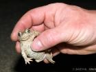 Kreuzkröte / Natterjack Toad