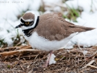 Flussregenpfeifer / Little Ringed Plover