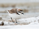 Seeregenpfeifer / Kentish Plover