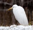 Silberreiher / Great White Egret
