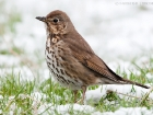 Singdrossel / Song Thrush
