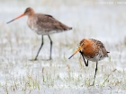 Uferschnepfe / Black-tailed Godwit