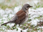 Wacholderdrossel / Fieldfare