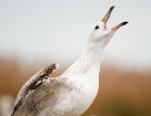 Steppenmöwe / Caspian Gull