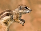 Atlashörnchen / Barbary Ground Squirrel