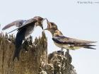 Nördliche Rauflügelschwalbe / Northern Rough-winged Swallow | Osa Halbinsel/Costa Rica, 2010