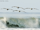Braunpelikane / Brown Pelicans