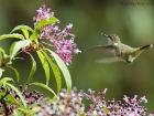 Vulkanelfe / Volcano Hummingbird
