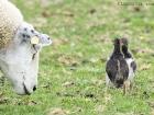 Austernfischer-Kükenkampf / Oystercatcher-chicks-fight