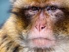 Berberaffe / Barbary Macaque