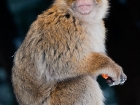 Berberaffe / Barbary Macaque