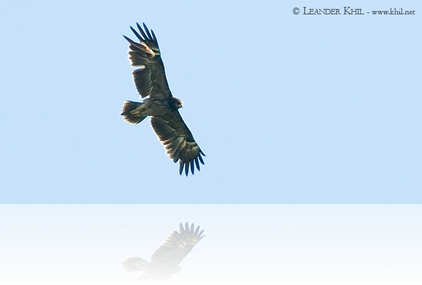 Schreiadler / Lesser Spotted Eagle