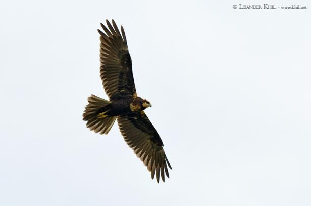 Rohrweihe / Marsh Harrier