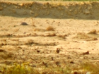 Braunbauchflughuhn / Chestnut-bellied Sandgrouse