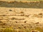 Braunbauchflughuhn / Chestnut-bellied Sandgrouse