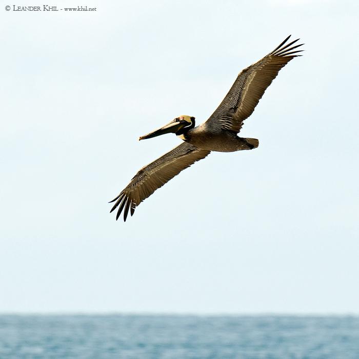 birds of costa rica book pdf