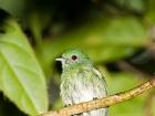 Blue-crowned Manakin