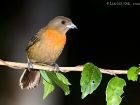 Cherrie\'s Tanager