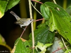 Chestnut-sided Warbler