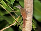 Cocoa Woodcreeper