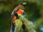 Collared Trogon