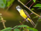 Grauscheiteltyrann / Grey-capped Flycatcher, La Gamba