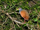 Cayenneralle / Grey-necked Woodrail, La Gamba