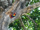 Hellroter Ara / Scarlet Macaw, Osa Halbinsel