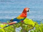 Hellroter Ara / Scarlet Macaw, La Leona Lodge