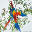 Hellroter Ara / Scarlet Macaw, Puerto Jimenez
