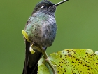 Dickschnabelkolibri / Magnificent Hummingbird, Trogon Lodge