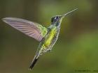 Dickschnabelkolibri / Magnificent Hummingbird, Trogon Lodge