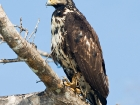 Mangrovenbussard / Mangrove Buzzard, Osa Halbinsel
