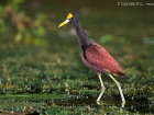 Gelbstirn-Blatthhnchen / Northern Jacana, Esquinas Lodge