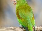 Tovisittich / Orange-chinned Parakeet, Osa Halbinsel