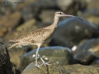 Regenbrachvogel / Whimbrel, Corcovado Nationalpark