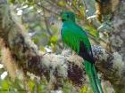 Quetzal / Resplendent Quetzal, Los Lagos