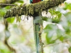 Quetzal / Resplendent Quetzal, Savegre Lodge