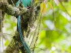 Quetzal / Resplendent Quetzal, Savegre Lodge