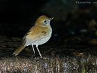 Bergmusendrossel / Ruddy-capped Nightingale-Thrush, Trogon Lodge