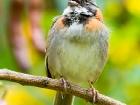 Morgenammer / Rufous-collared Sparrow, Trogon Lodge