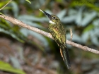 Rotschwanz-Glanzvogel / Rufous-tailed Jacamar, Piedras Blancas