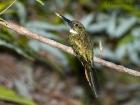 Rotschwanz-Glanzvogel / Rufous-tailed Jacamar, Piedras Blancas