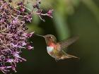 Flämmchenkolibri / Scintillant Hummingbird, Savegre Lodge