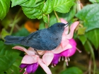 Einfarb-Hakenschnabel / Slaty Flowerpiercer, Trogon Lodge