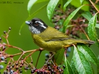 Weibrauen-Buschtangare / Sooty-capped Bush-Tanager, Trogon Lodge