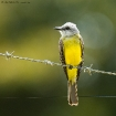 Trauertyrann / Tropical Kingbird, Osa Halbinsel